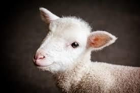 bébé agneau